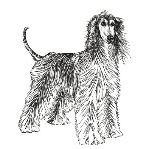Afghan Hound Illustration   The Enlightened Hound