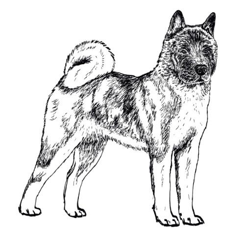 American Akita Illustration   The Enlightened Hound