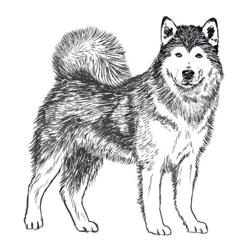 Alaskan Malamute Illustration   The Enlightened Hound