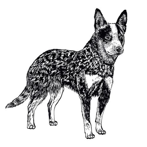 Australian Cattle Dog Heeler Illustration   The Enlightened Hound