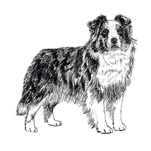 Australian Shepherd Dog  Illustration   The Enlightened Hound