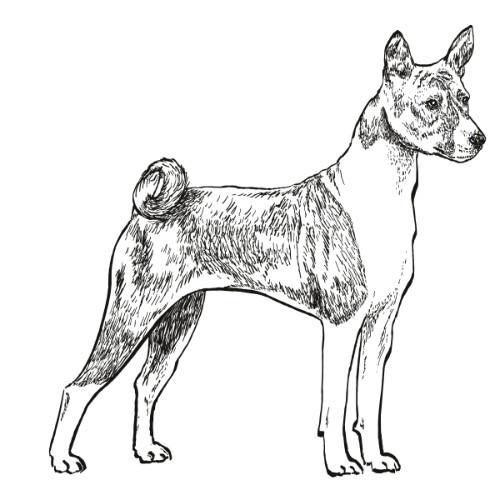 Basenji Illustration   The Enlightened Hound