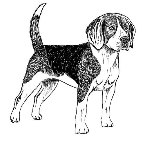 Beagle Illustration by Debbie Kendall