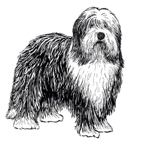 Bearded Collie Illustration   The Enlightened Hound