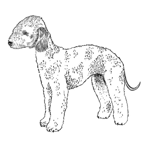 Bedlington Terrier illustration by Debbie Kendall