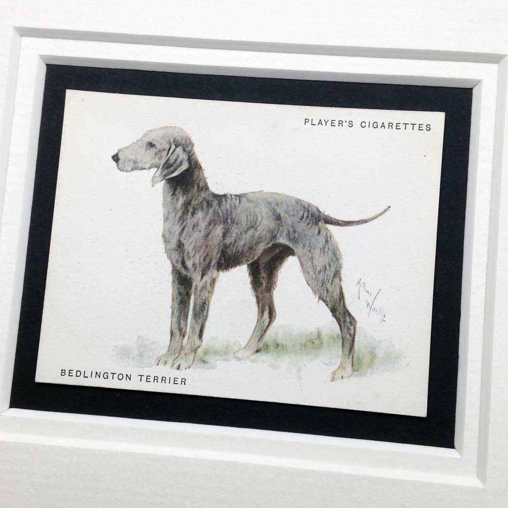 Bedlington Terrier Vintage Gifts - The Enlightened Hound