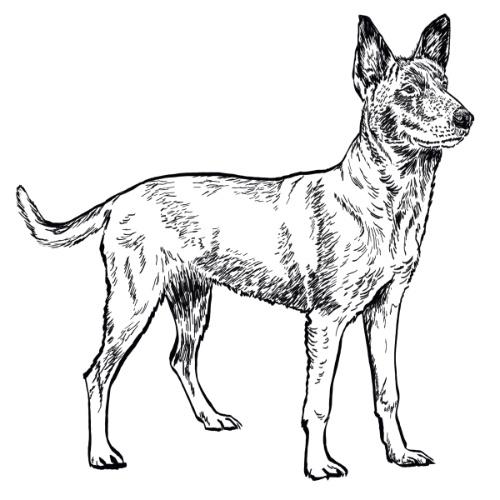 Belgian Malinois Illustration   The Enlightened Hound