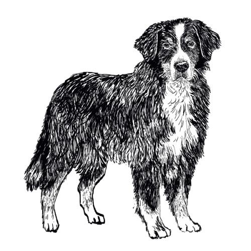 Bernese Mountain Dog Illustration   The Enlightened Hound