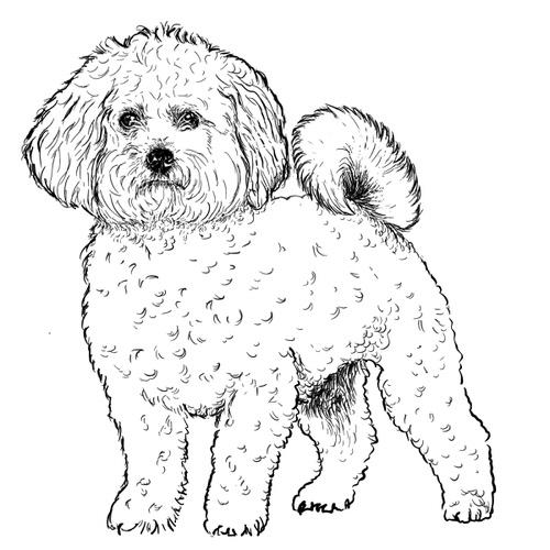 Bichon Frise illustration by Debbie Kendall
