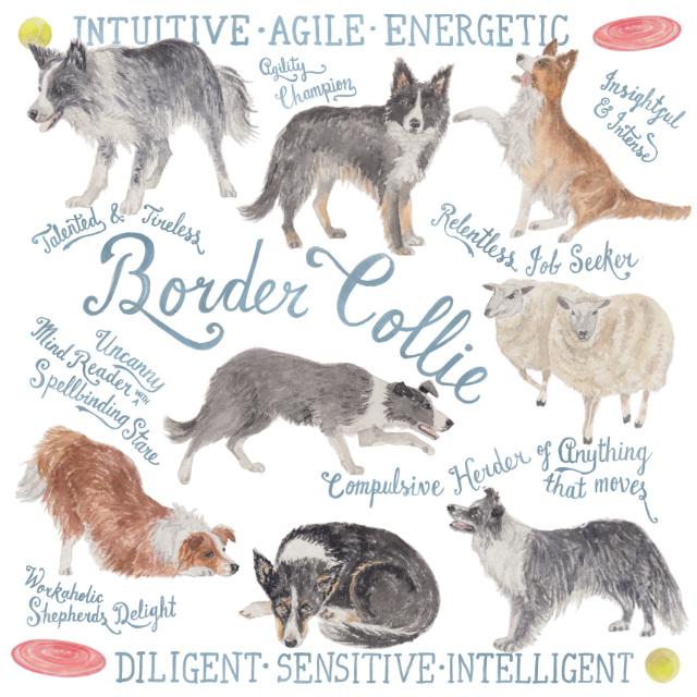 Border Collie dog illustration watercolour | The Enlightened Hound