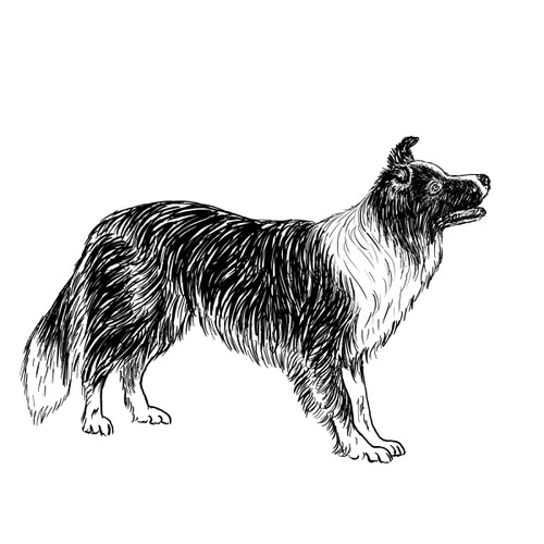 Border Collie illustration by Debbie Kendall