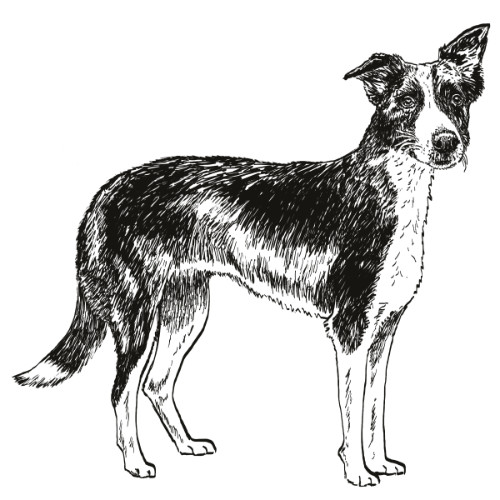 Border Collie Smooth Coat illustration by Debbie Kendall