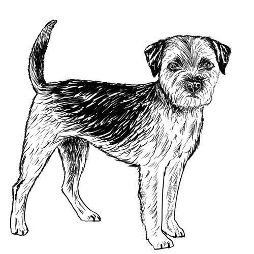 Border Terrier illustration by Debbie Kendall
