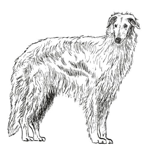 Borzoi Illustration   The Enlightened Hound