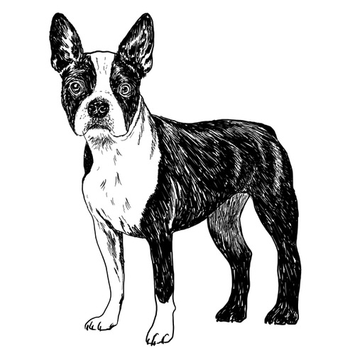 Boston Terrier illustration by Debbie Kendall