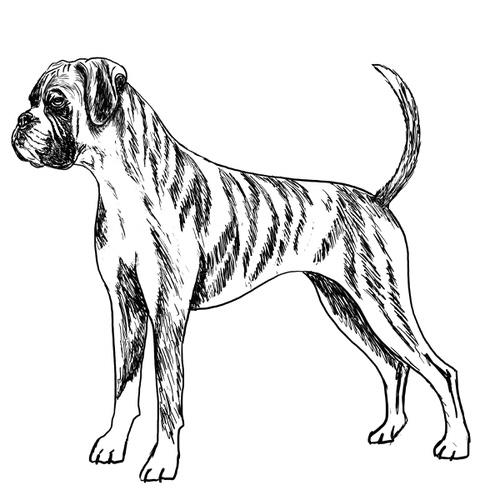 Boxer dog illustration by Debbie Kendall