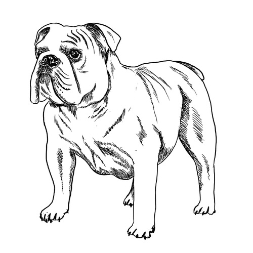 Bulldog illustration by Debbie Kendall