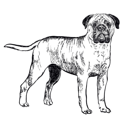 Bullmastiff Illustration   The Enlightened Hound