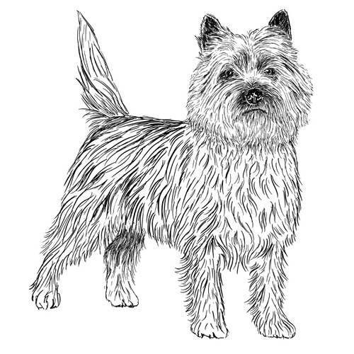 Cairn Terrier illustration by Debbie Kendall