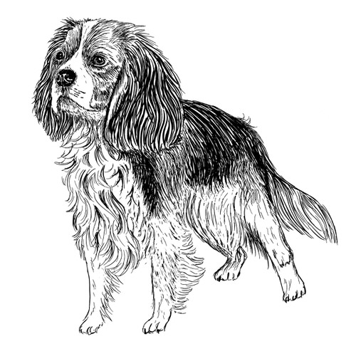 Cavalier King Charles Spaniel illustration by Debbie Kendall