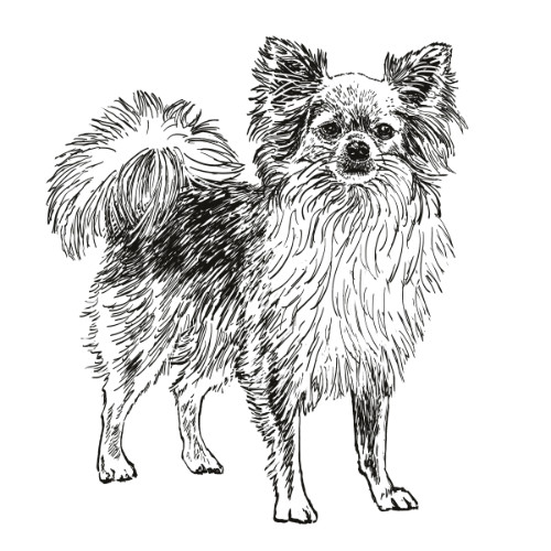 Chihuahua Long Hair Illustration   The Enlightened Hound
