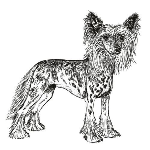Chinese Crested Hairless Illustration   The Enlightened Hound