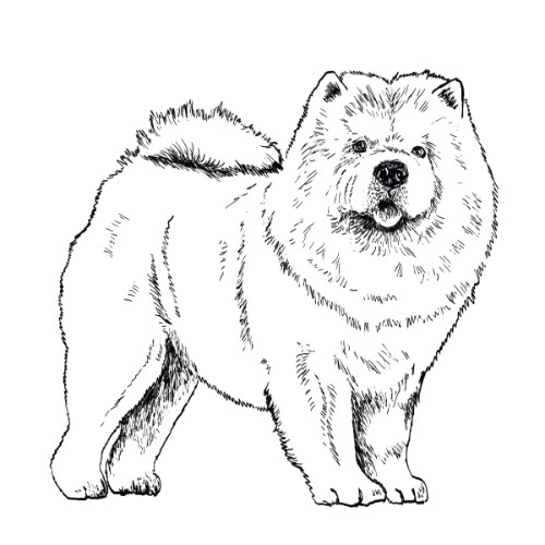 Chow Chow Illustration   The Enlightened Hound