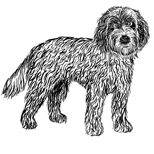 Cockapoo illustration by Debbie Kendall