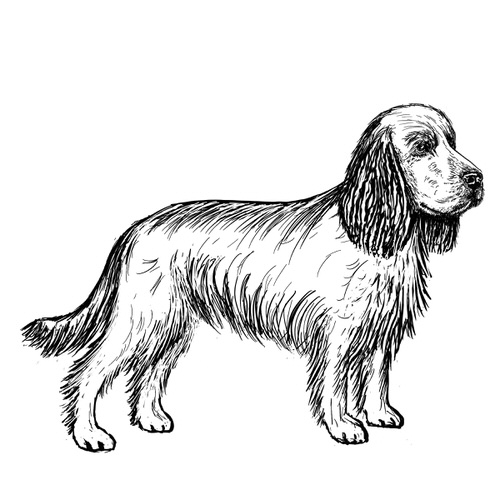 Cocker Spaniel illustration by Debbie Kendall