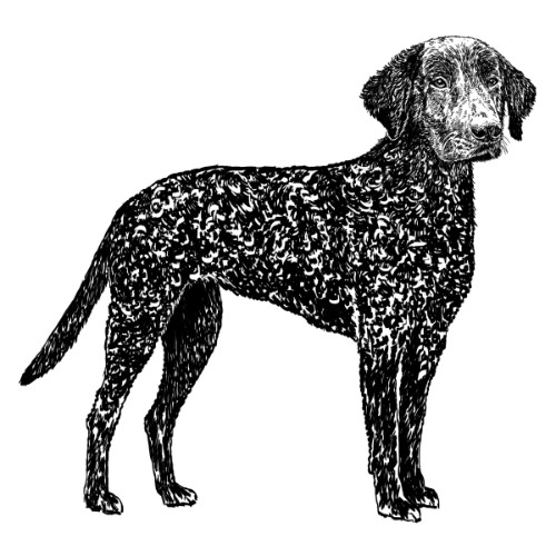 Curly Coated Retriever Illustration   The Enlightened Hound