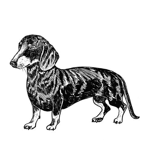 Dachshund illustration by Debbie Kendall