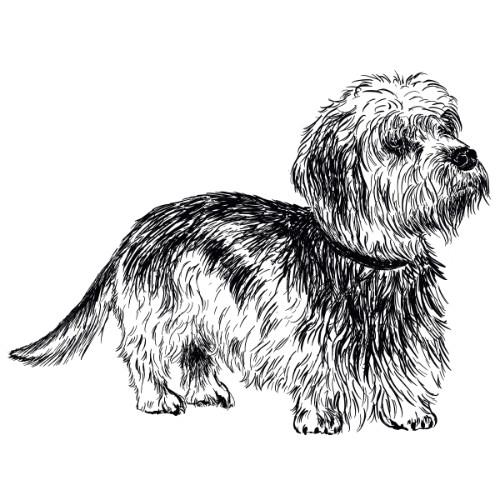 Dandie Dinmont Terrier Illustration   The Enlightened Hound