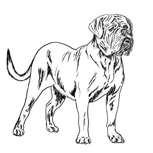 Dogue de Bordeaux Illustration   The Enlightened Hound
