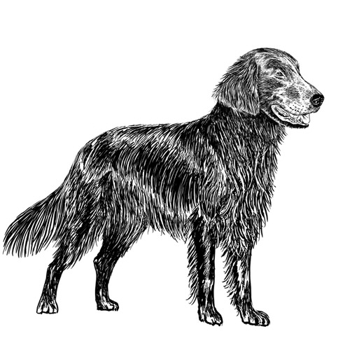 Flat Coated Retriever illustration by Debbie Kendall