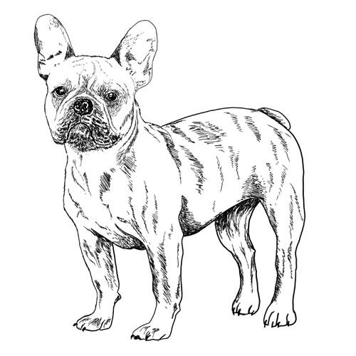 French Bulldog illustration by Debbie Kendall