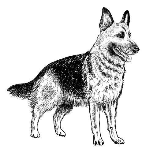 German Shepherd Dog illustration by Debbie Kendall