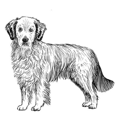 Golden Retriever illustration by Debbie Kendall