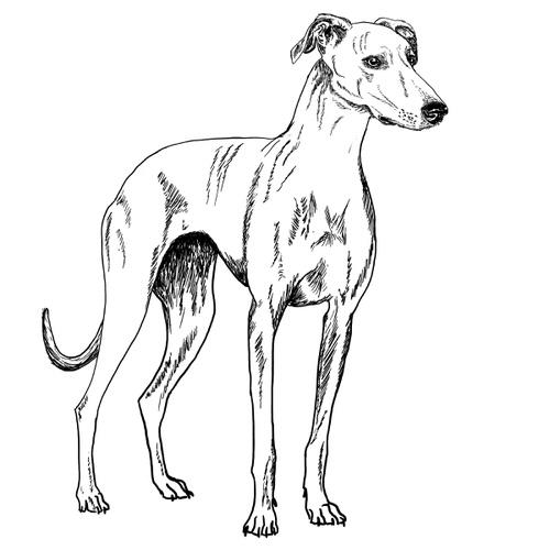 Greyhound Illustration by Debbie Kendall