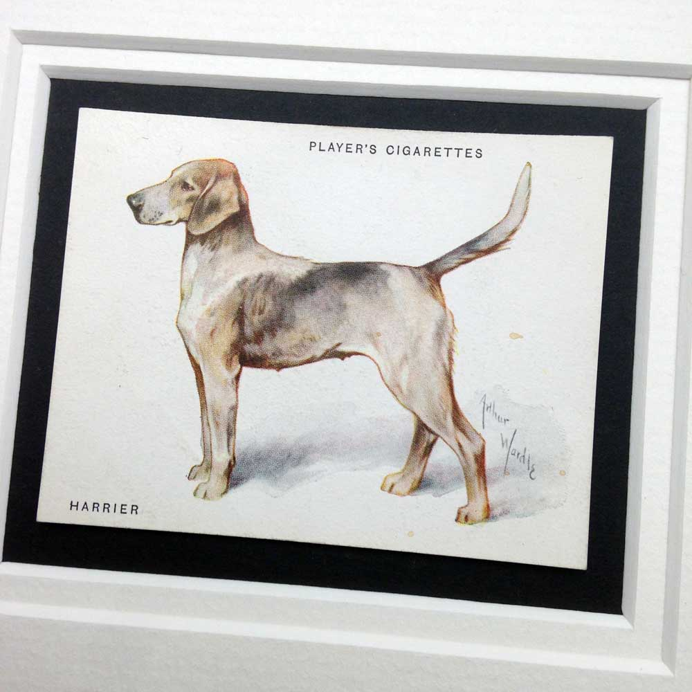 Harrier Dog Vintage Gifts - The Enlightened Hound