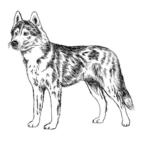 Siberian Husky Illustration by Debbie Kendall