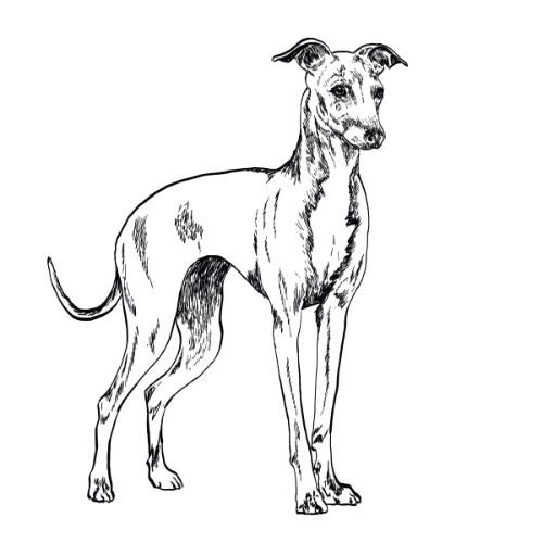 Italian Greyhound Illustration   The Enlightened Hound