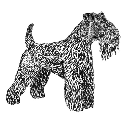 Kerry Blue Terrier Illustration   The Enlightened Hound