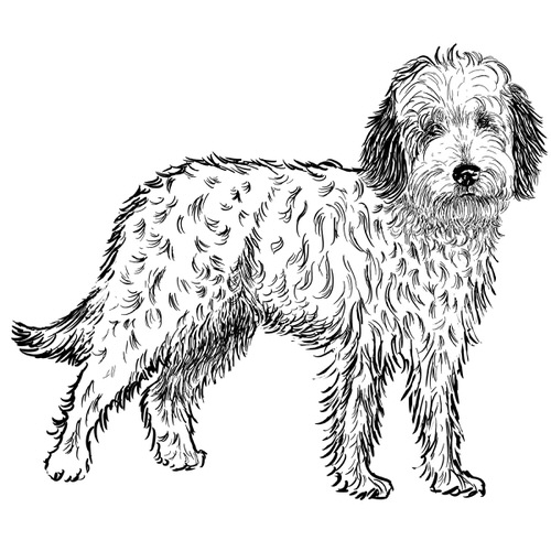 Labradoodle Illustration by Debbie Kendall