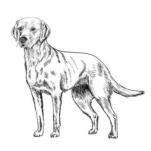 Labrador Illustration by Debbie Kendall
