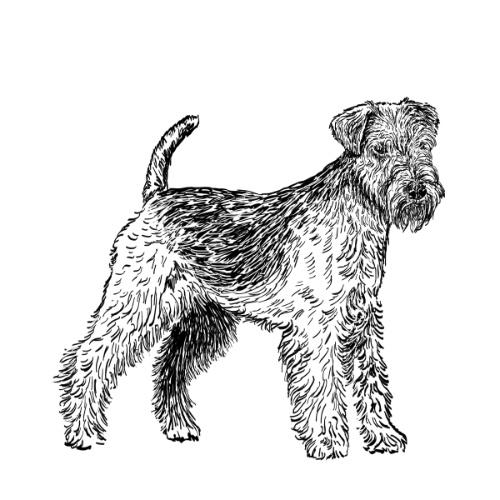 Lakeland Terrier Illustration   The Enlightened Hound