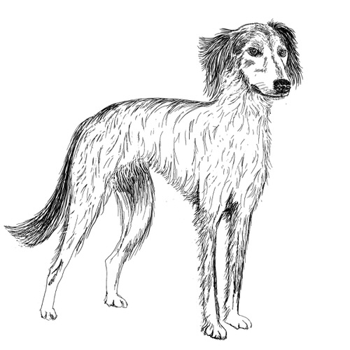 Lurcher Long Haired Illustration by Debbie Kendall