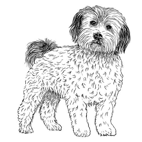Maltese Dog Illustration by Debbie Kendall