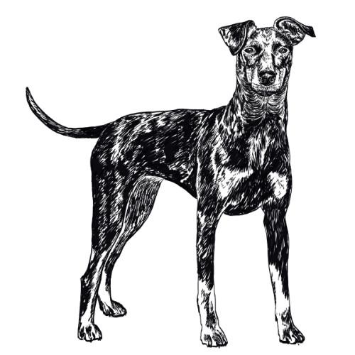 Manchester Terrier Illustration   The Enlightened Hound