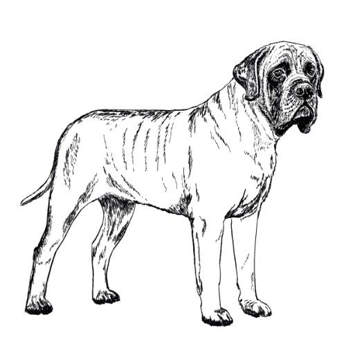 English Mastiff Illustration   The Enlightened Hound