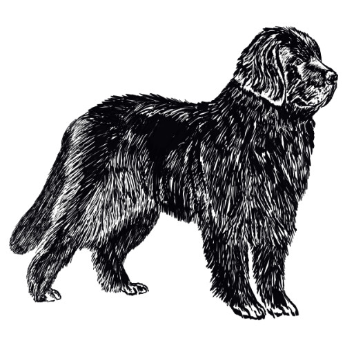 Newfoundland Dog Illustration   The Enlightened Hound